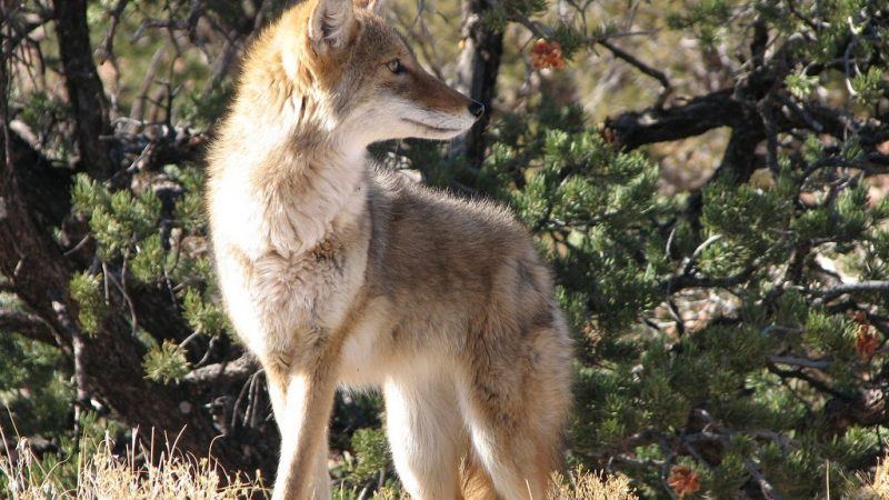 How to get rid of coyotes
