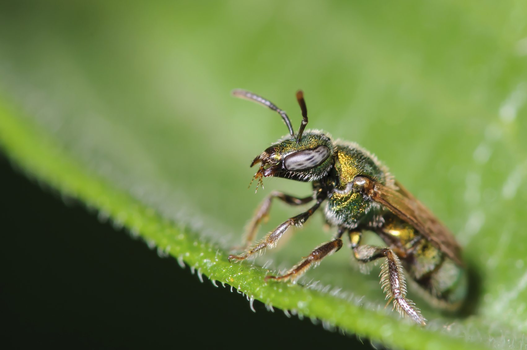 How to get rid of sweat bees